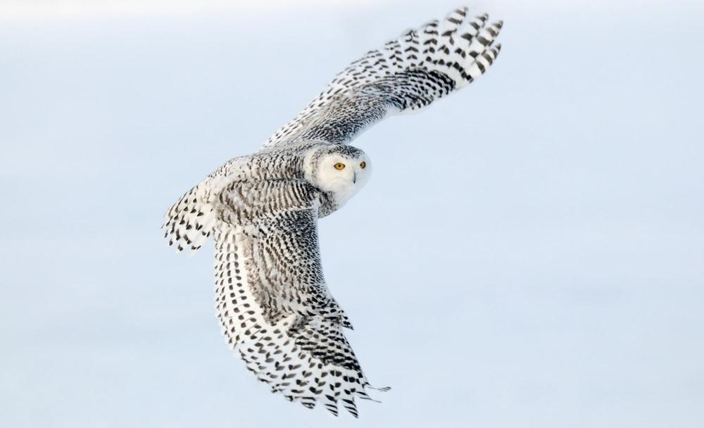 Owl-Flight-hd-Wallpaper.jpg