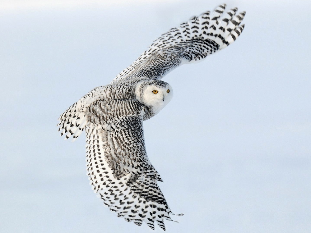 snowy_owl_in_flight__casselman__ontario__canada.jpg