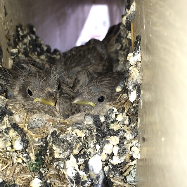 I'm moving the 15th and didn't think I'd get to see these little guys hatch. 3 of the 6 eggs made it and probably only 1 will see adulthood. Nature is unforgiving. We humans are spoiled bitches. Witnessed it from when the building of the nest started. Amazing. #finches?