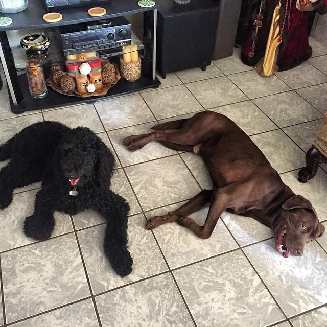 The Maxes taking a break. #dogs #labrador #goldendoodle #chocolatelabrador #happydogs #aww #poodle