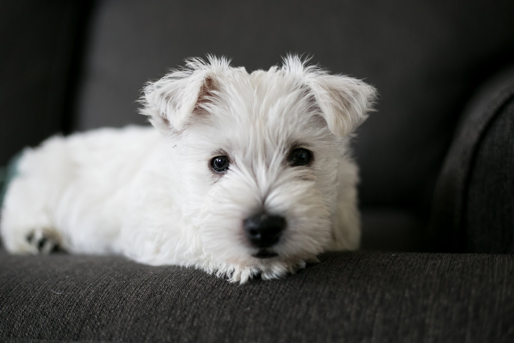 Auggie the Westie - happinesscollective.org
