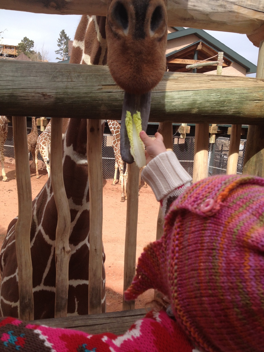 feeding the giraffes all on her own