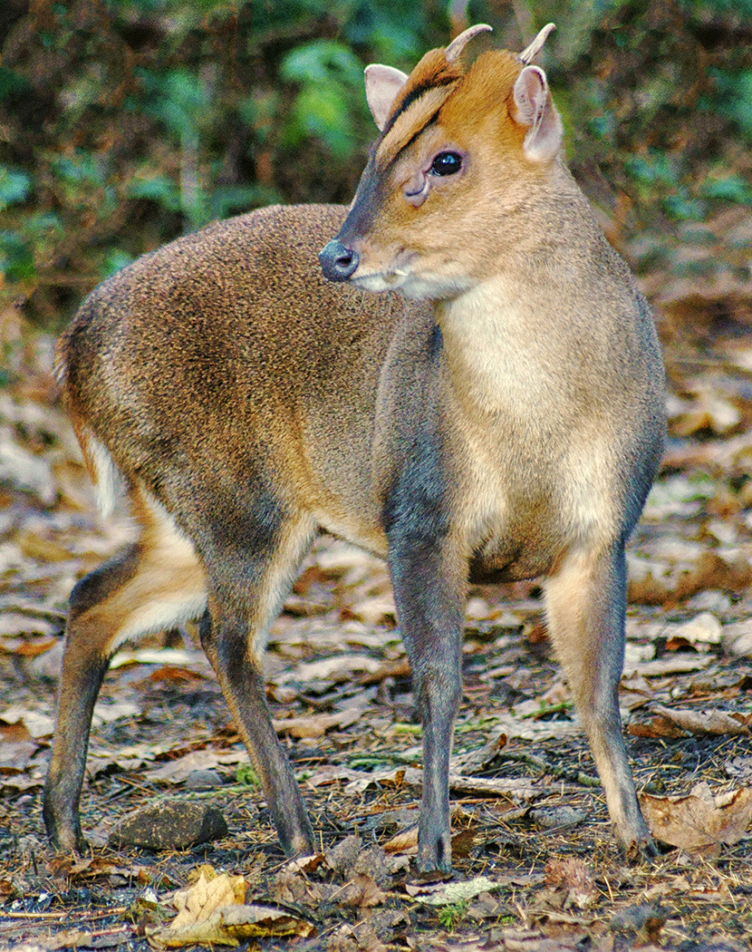 1_Muntjac on Full Alert_Paul Edwards.jpg