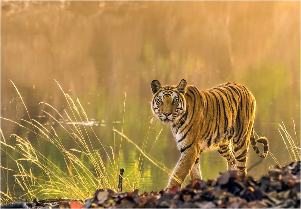 1_Bengal Tiger in Evening Light_Ric Harding.jpg