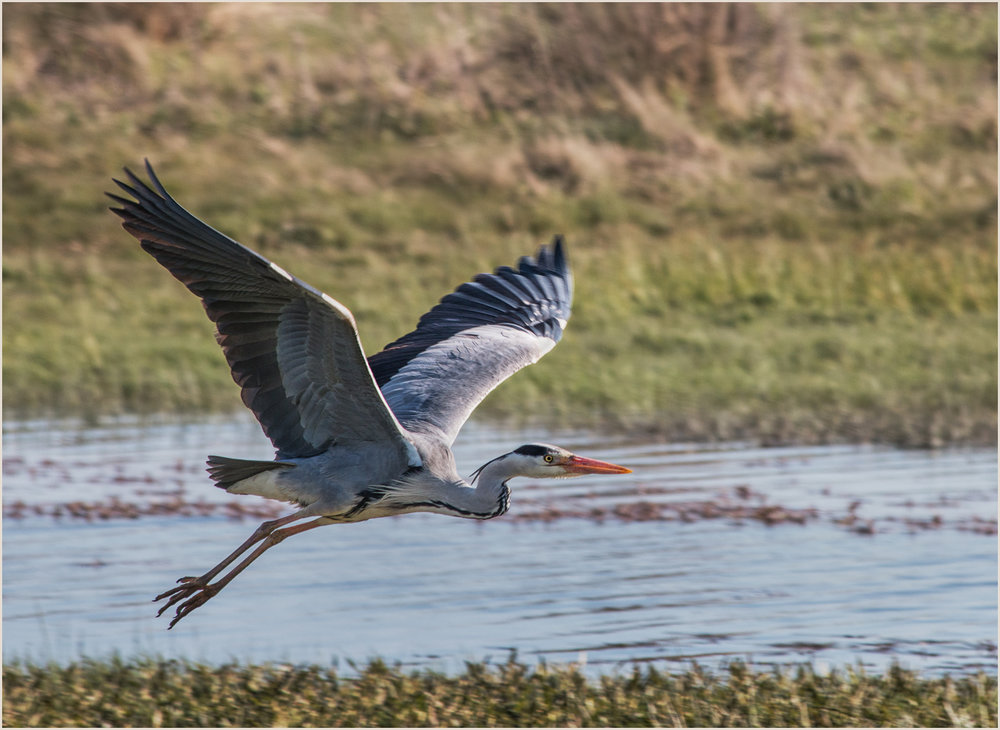 1_Heron Taking Off_Audrey Couchman.jpg
