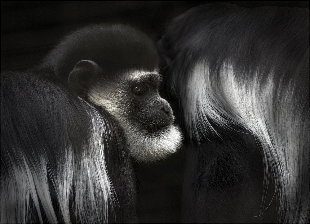 2_Colobus_Alan Docherty.jpg
