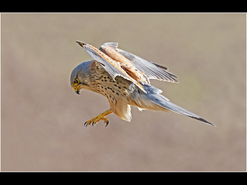 1_male kestrel_trevor hunter.jpg