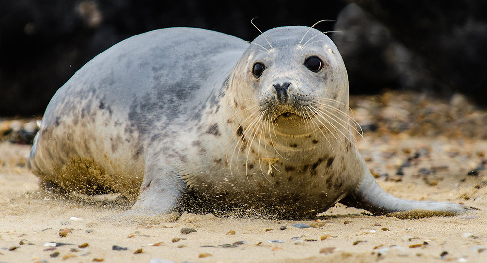 2_Grey Seal Pup_Mark Chambers.jpg