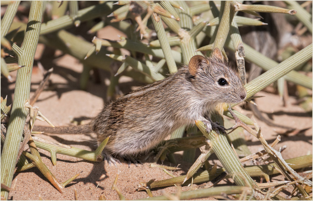 2_African 5-Banded Fieldmouse_Audrey Couchman.jpg