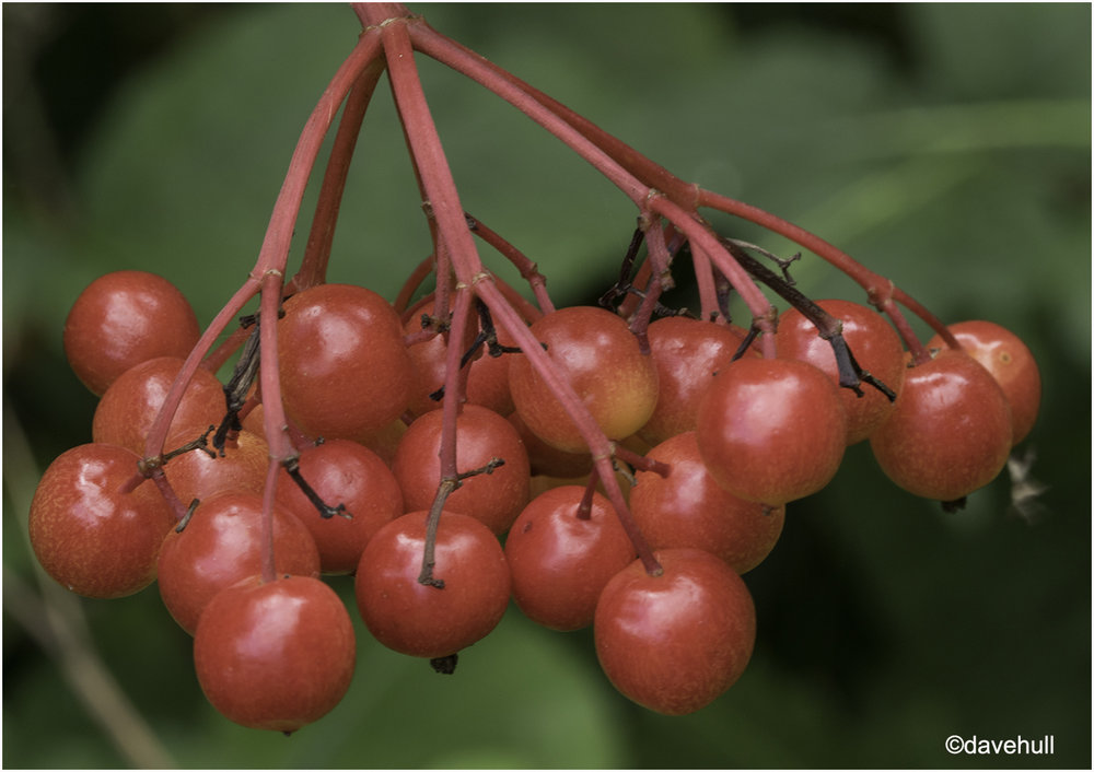 Red Berries .jpg