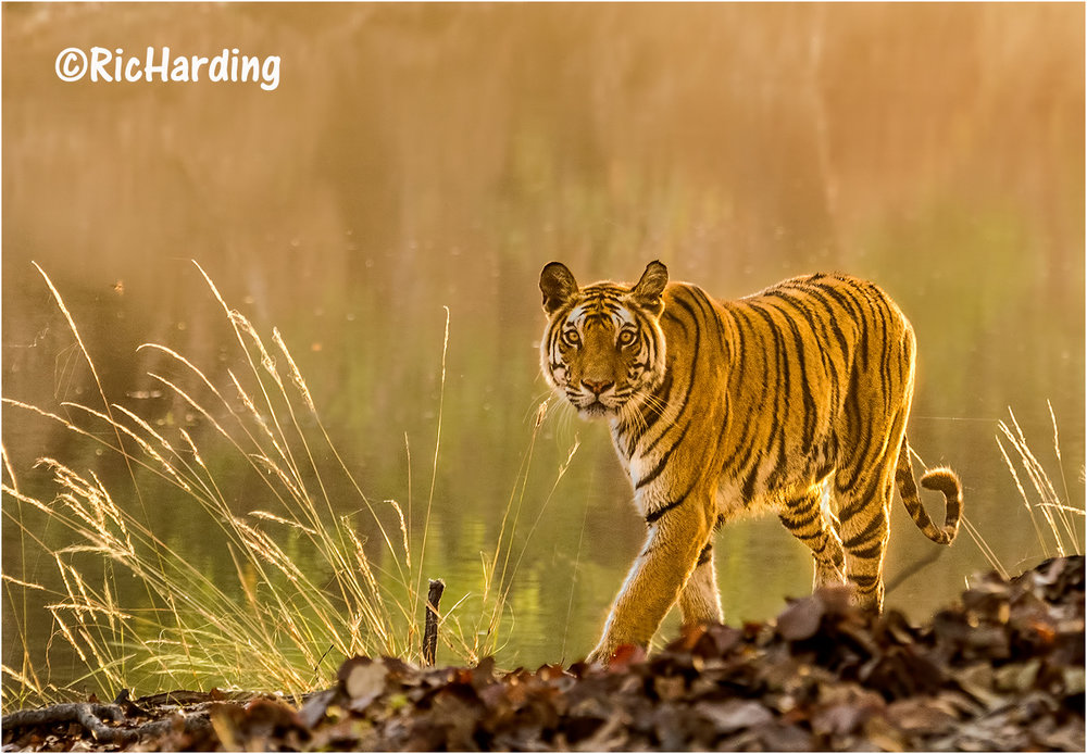Bengal Tigress in Evening Light