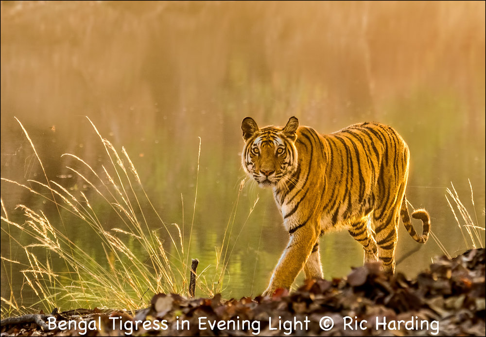 Bengal Tigress in Evening Light.jpg