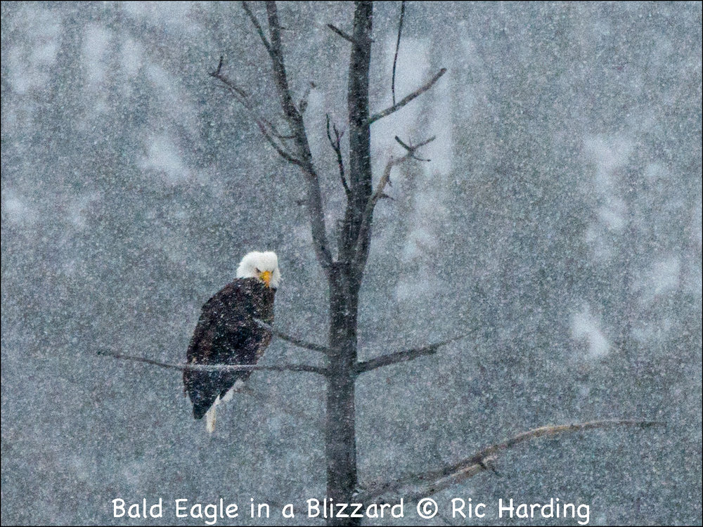 Bald Eagle in a Blizzard.jpg