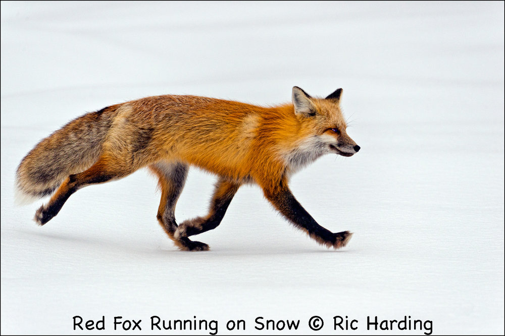 Red Fox Running on Snow.jpg