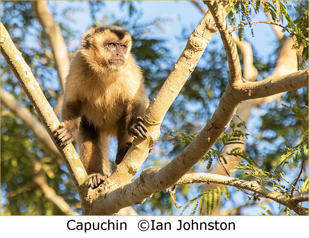 1_Capuchin Sentry_Ian Johnston.jpg