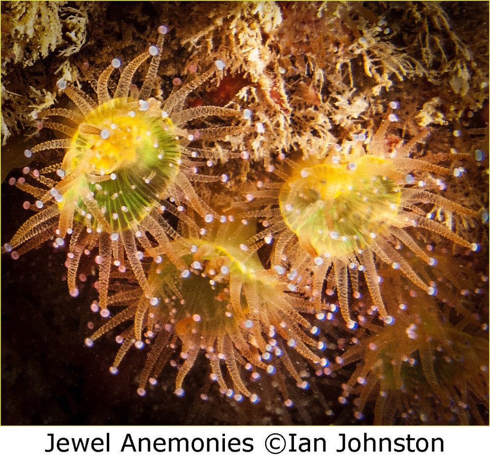 2_Jewel Anemonies_Ian Johnston.jpg