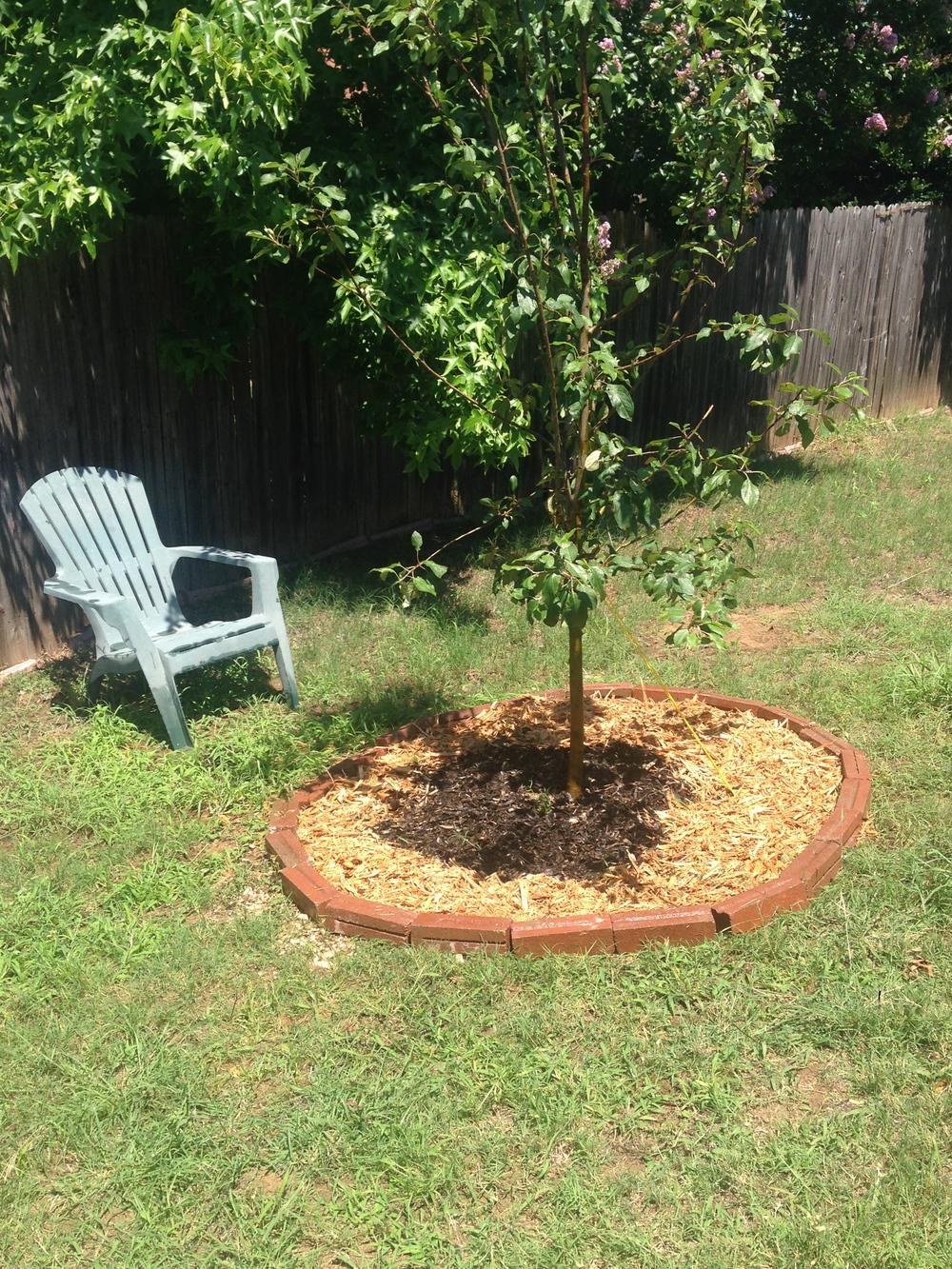 My Apple Tree!