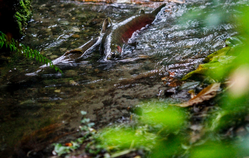Salmon returning to the Fauntleroy Creek every fall. A private viewing on site, to be shared with the community as an event.