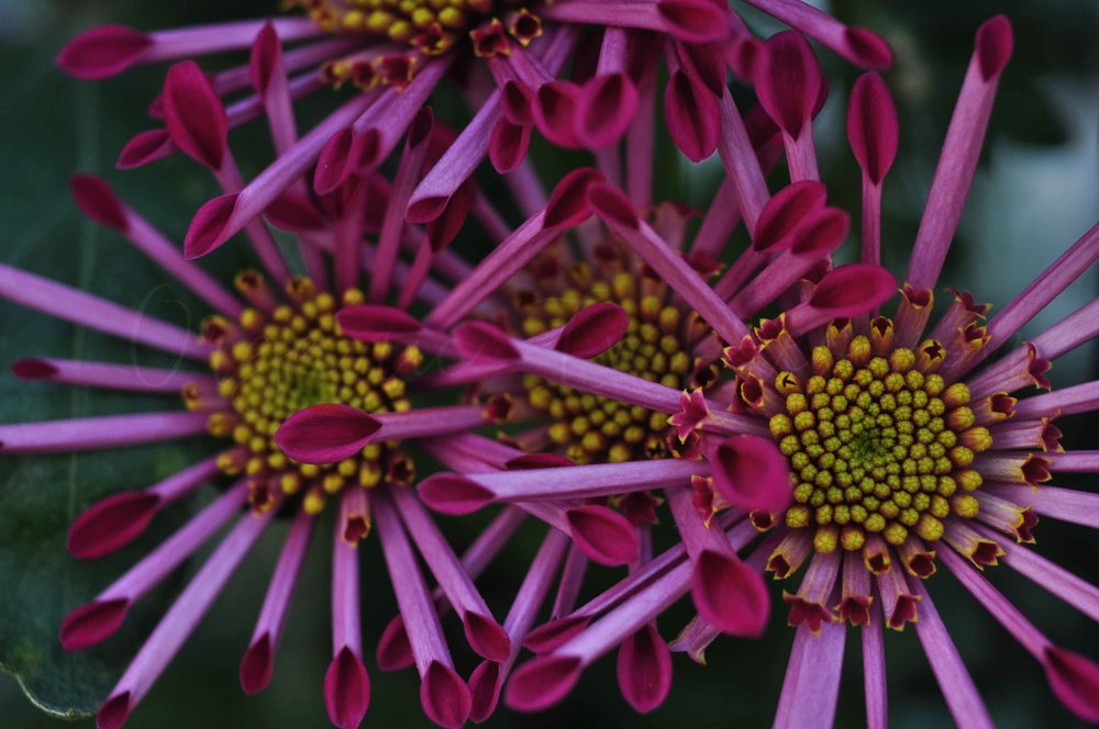 pink and yellow starburst daisy copy.jpg