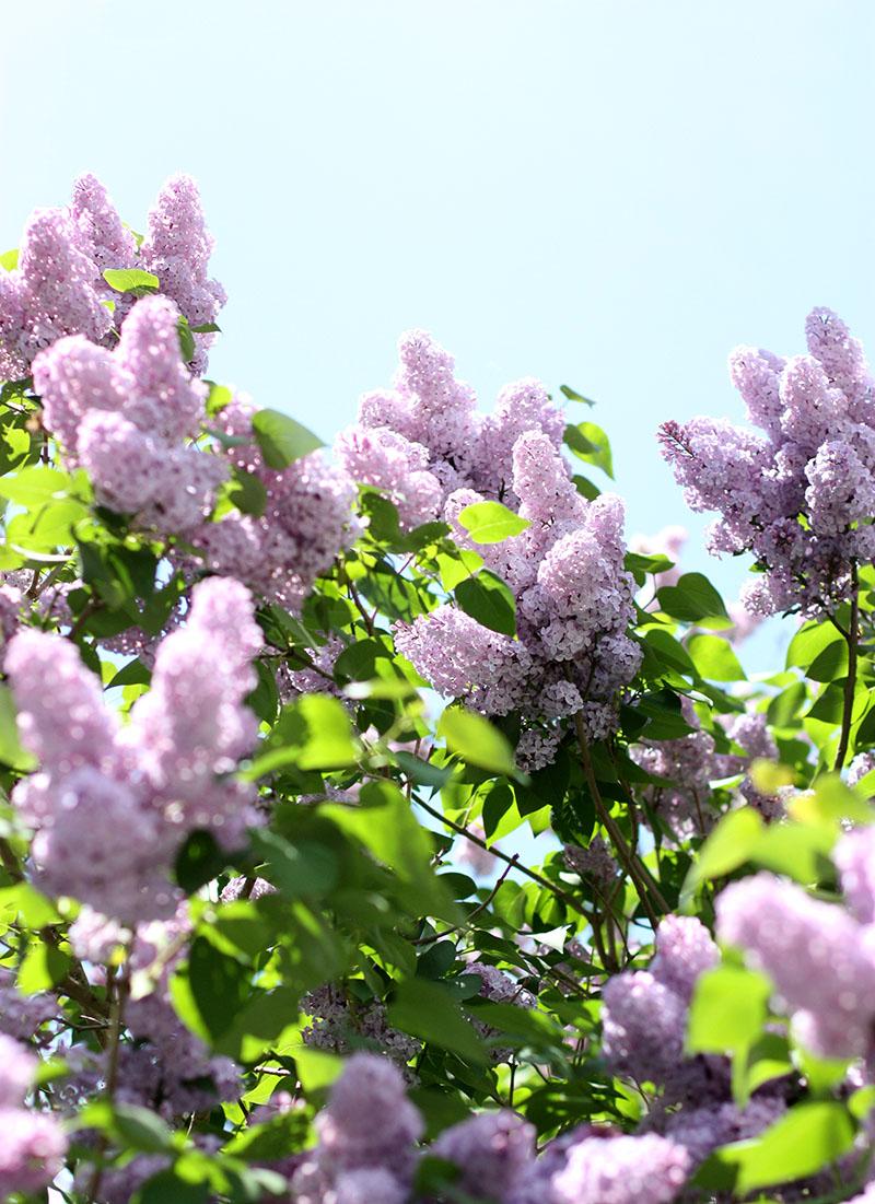 lavender_flowers_web.jpg
