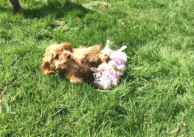 How cute! Watson and Trixy frolicking 🐶❤️