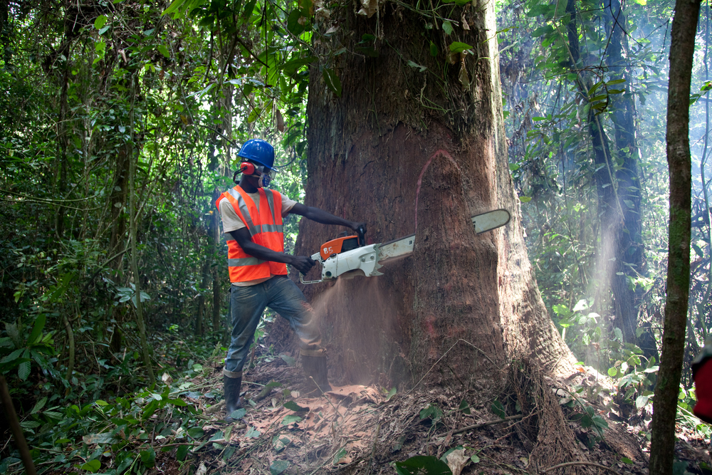 Sawing Makore Tree - West Africa