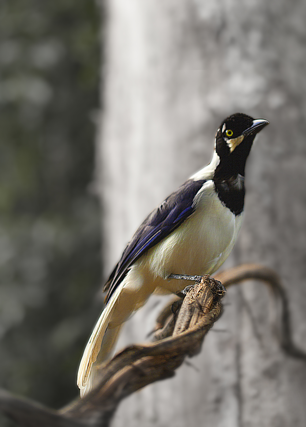 In the tux and ready Read about The white-tailed jay (Cyanocorax mystacalis) Comments