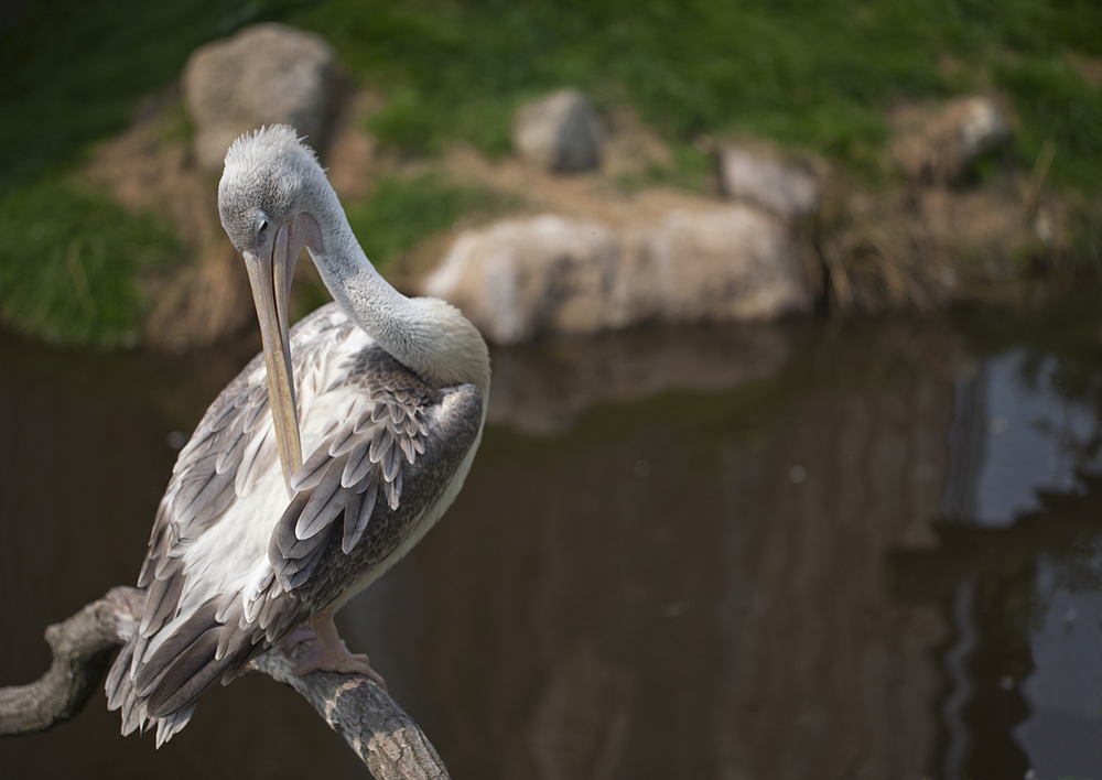 Time to freshen up Read about The pink-backed pelican (Pelecanus rufescens) Comments