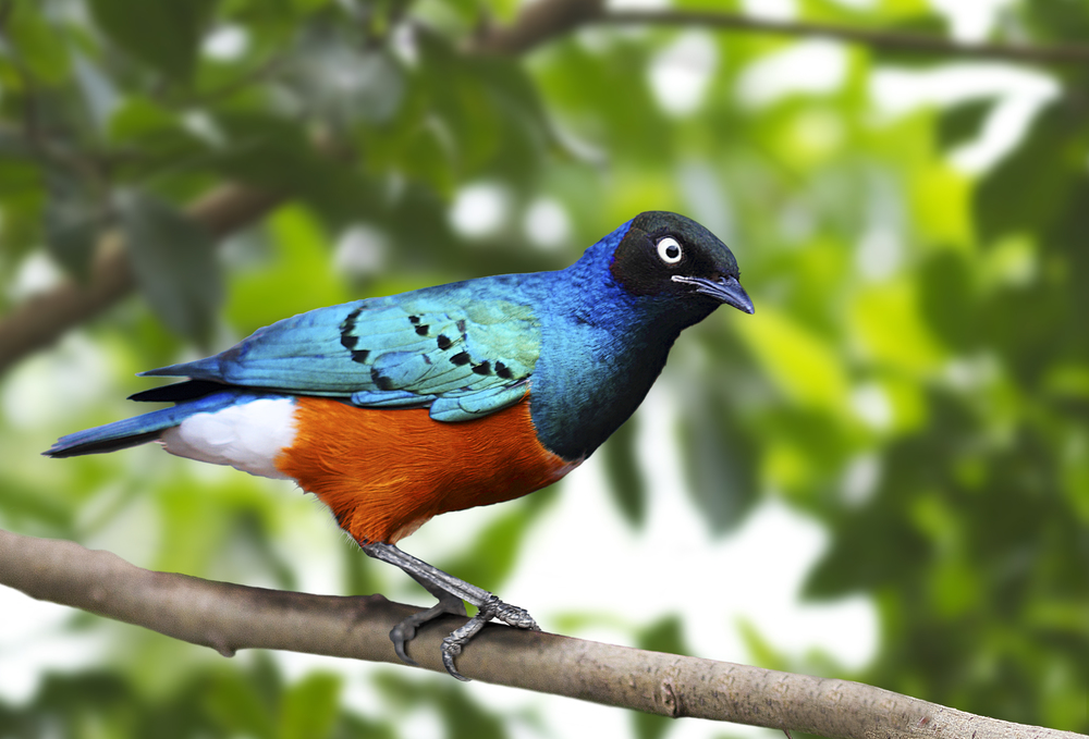 Keeps an eye on things Read about The Superb starling (Lamprotornis superbus) Comments