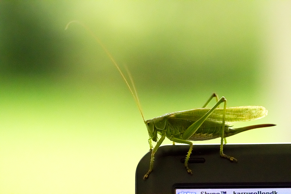 On Skype Read about The Great Green Bush-Cricket (Tettigonia viridissima) Comments
