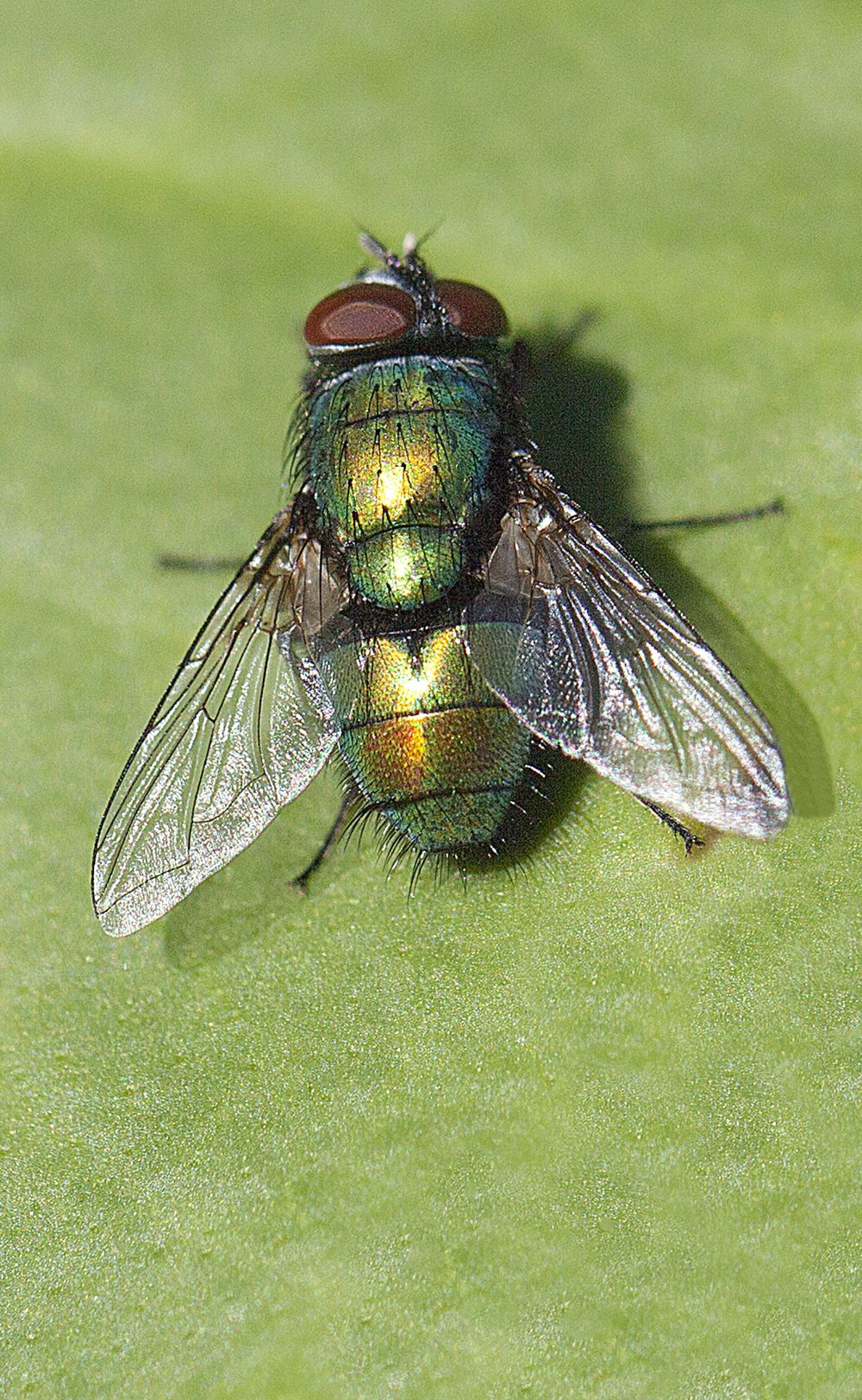 Green on green (Lucilia caesar) Read about The flies Comments