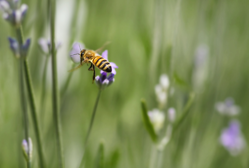 Summer wine Read about The honey bee Comments