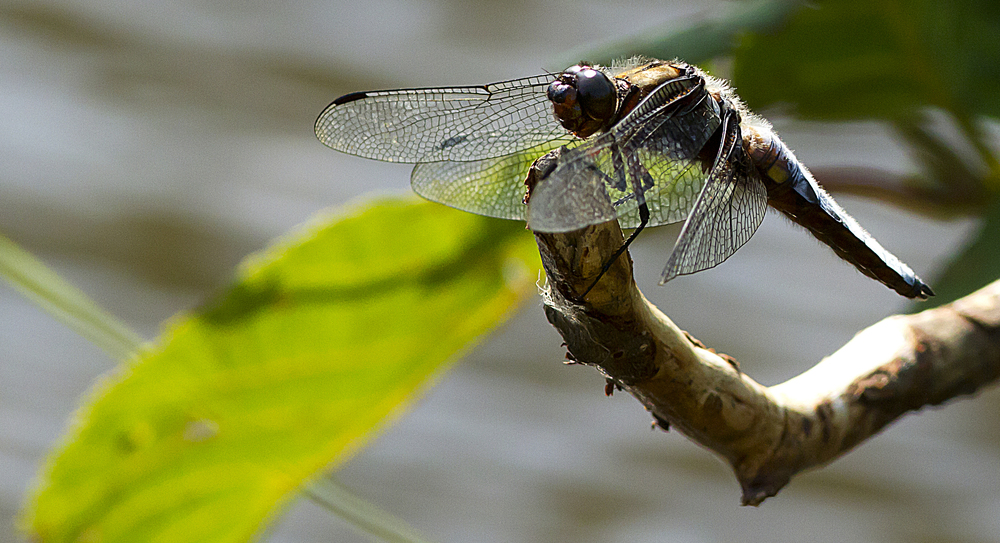 A place with a view Read about Broad-bodied Chaser (female) Comments
