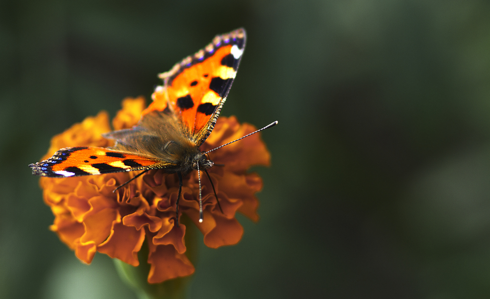 Fresh juice coming up Read about The small tortoiseshell (Aglais urticae L.) Comments