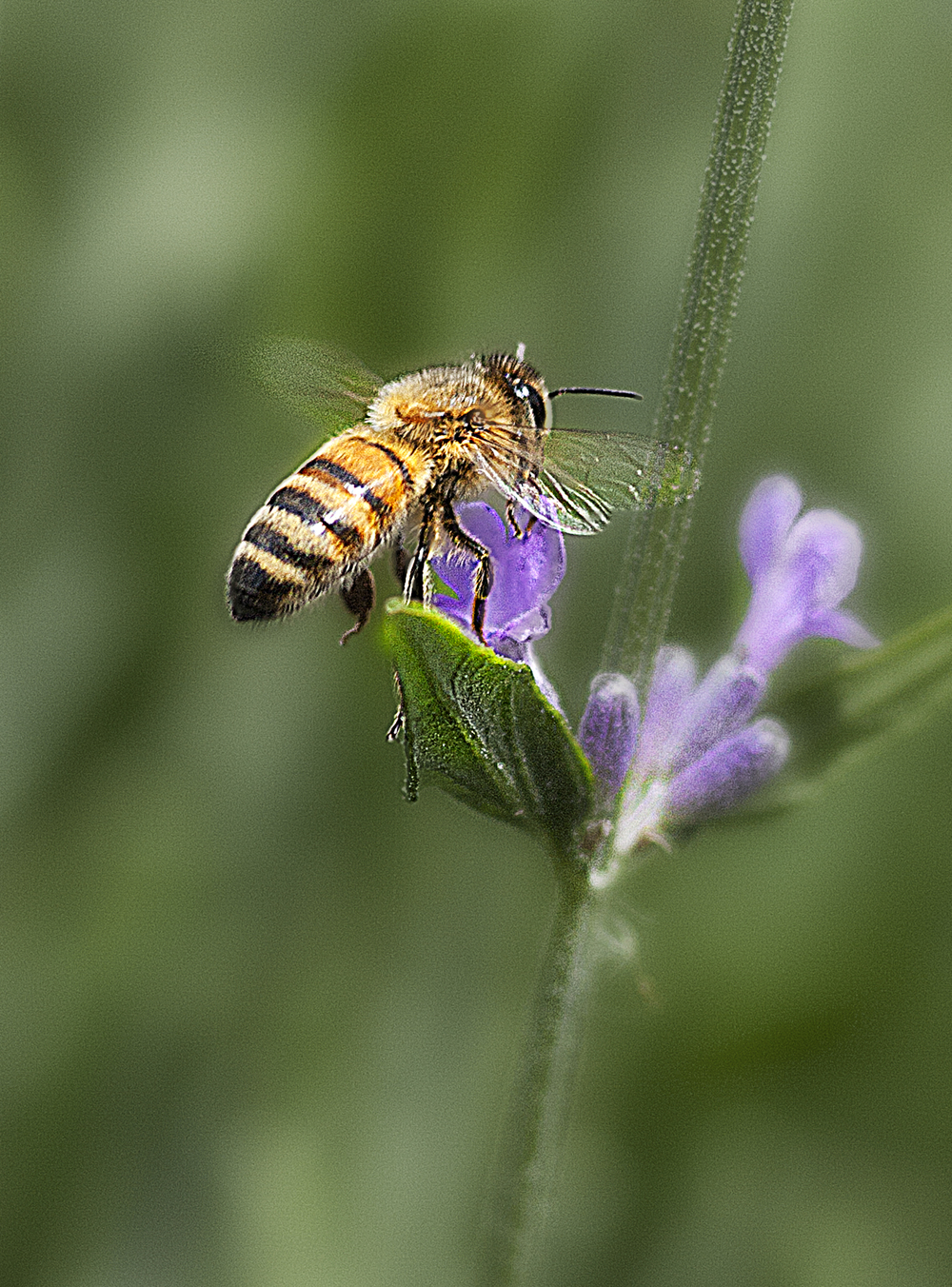 Coming soon to a garden near you Read about The honey bee Comments