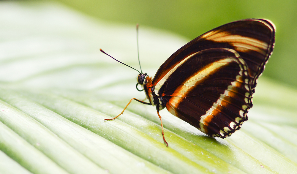 Warning stripes Read about The Heliconius hecale Comments