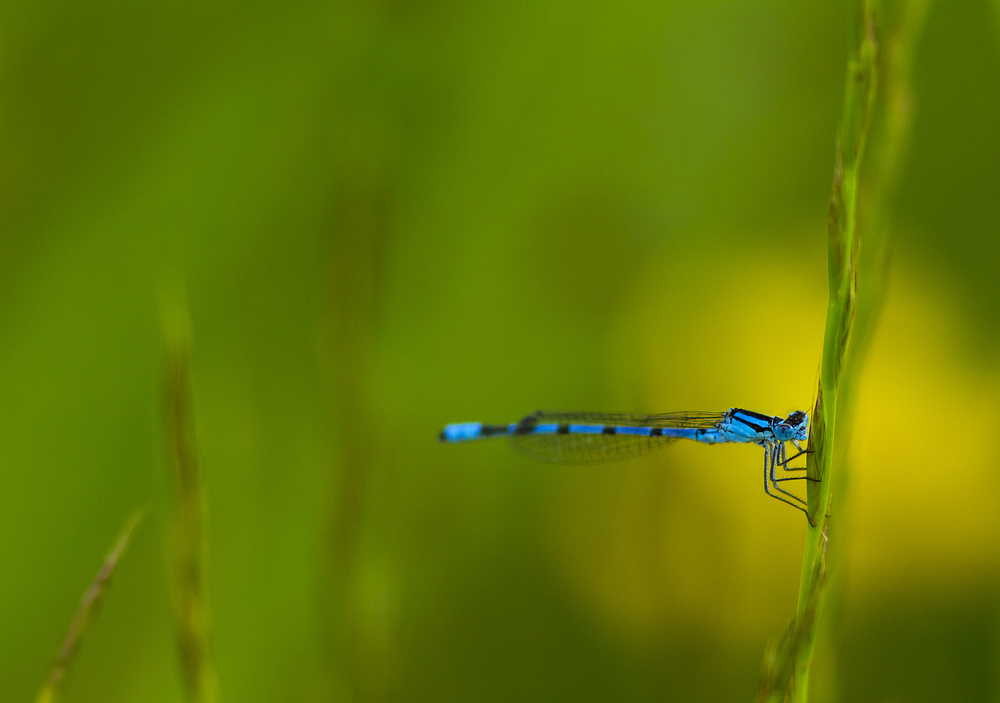 Azure Damselfly (Coenagrion puella) Read about The azure damselfly (Coenagrion puella) Comments