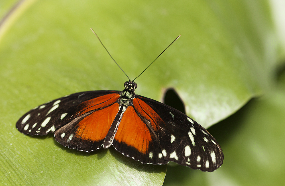 Laying low Read about The Heliconius hecale Comments