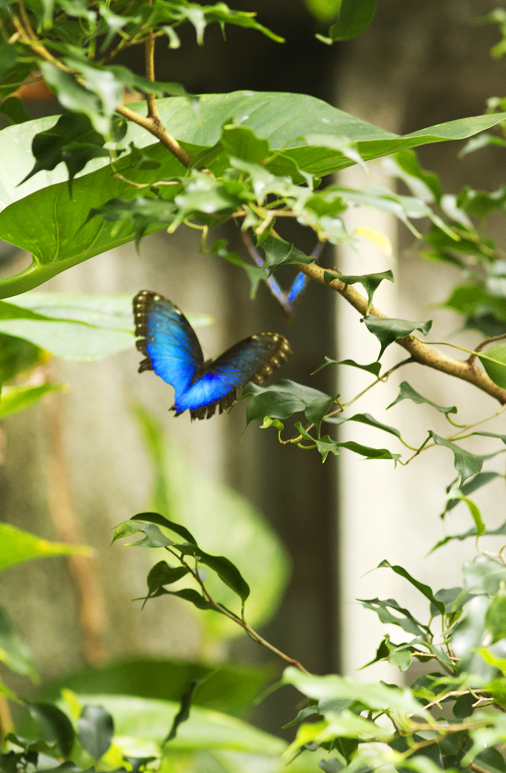 Flying through Read about The morpho butterfly Comments