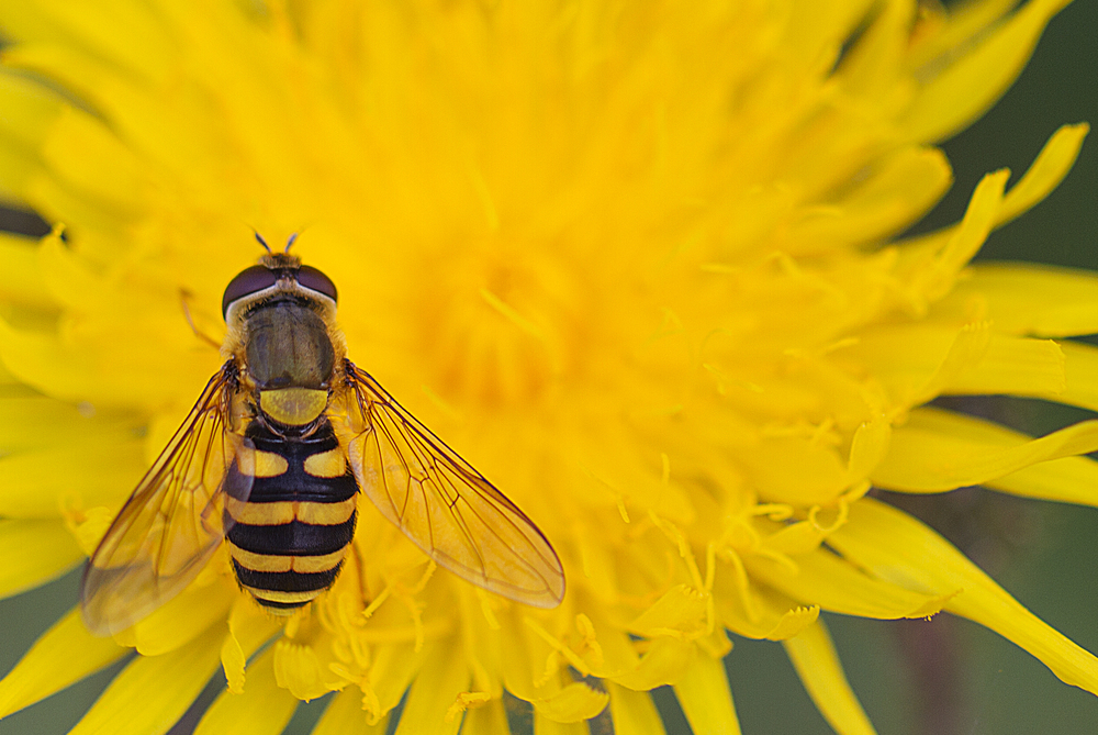 I'm just a fly Read about The Hoverflies Comments