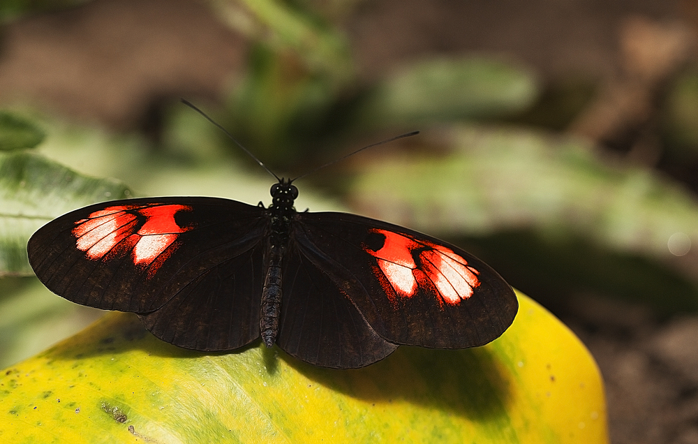 I will sit here for a while Read about Heliconius (melpomene plessini) Comments