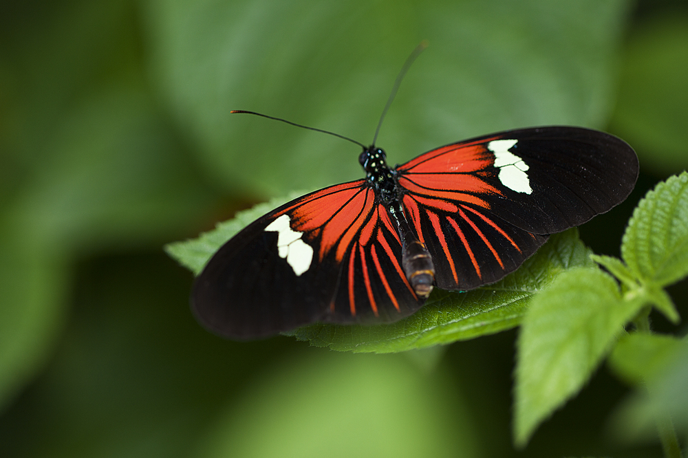 A strong signal Read about The Heliconius butterfly (Heliconius chanitonius) Comments