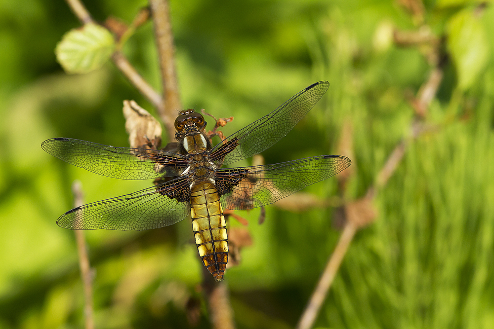 Broad-bodied Chaser (female) Read about Broad-bodied Chaser (female) Comments
