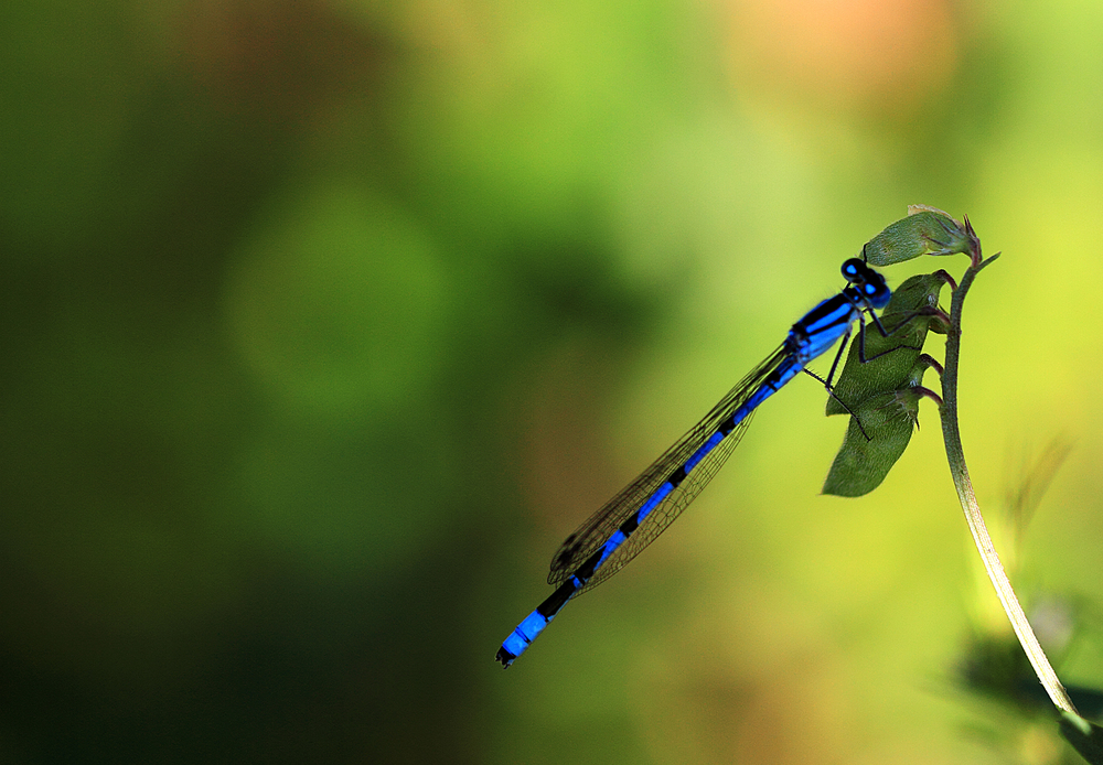Roadside life Azure Damselfly (Coenagrion puella) Comments