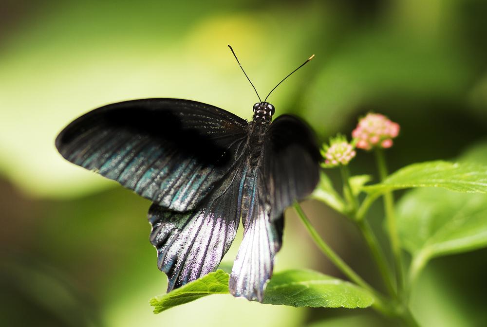 Black beauty The Great Mormon (Papilio memnon) Comments