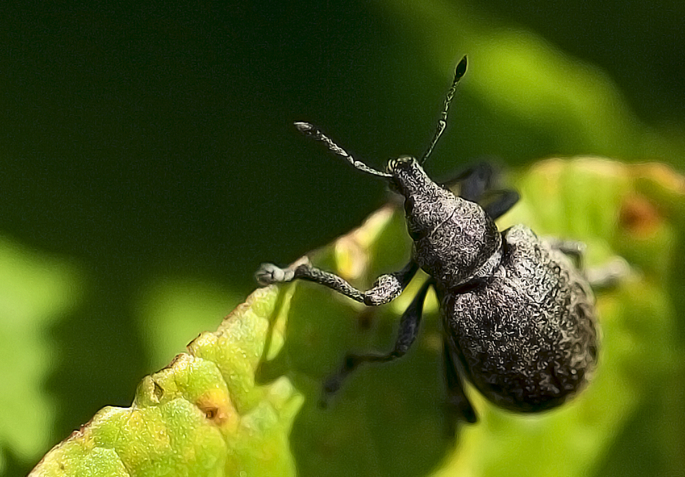 A little gray guy Read about The weevil Comments