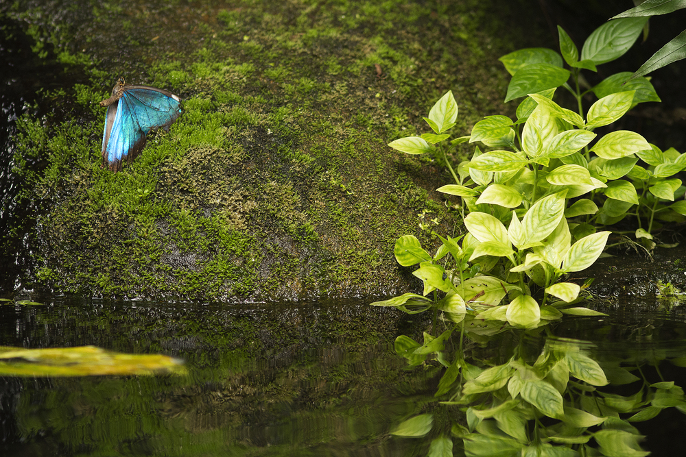 Over the pond Read about The morpho butterfly Comments