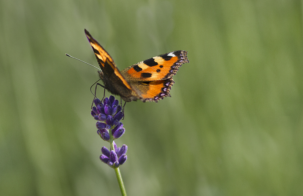 One for the road Read about The small tortoiseshell (Aglais urticae L.) Comments