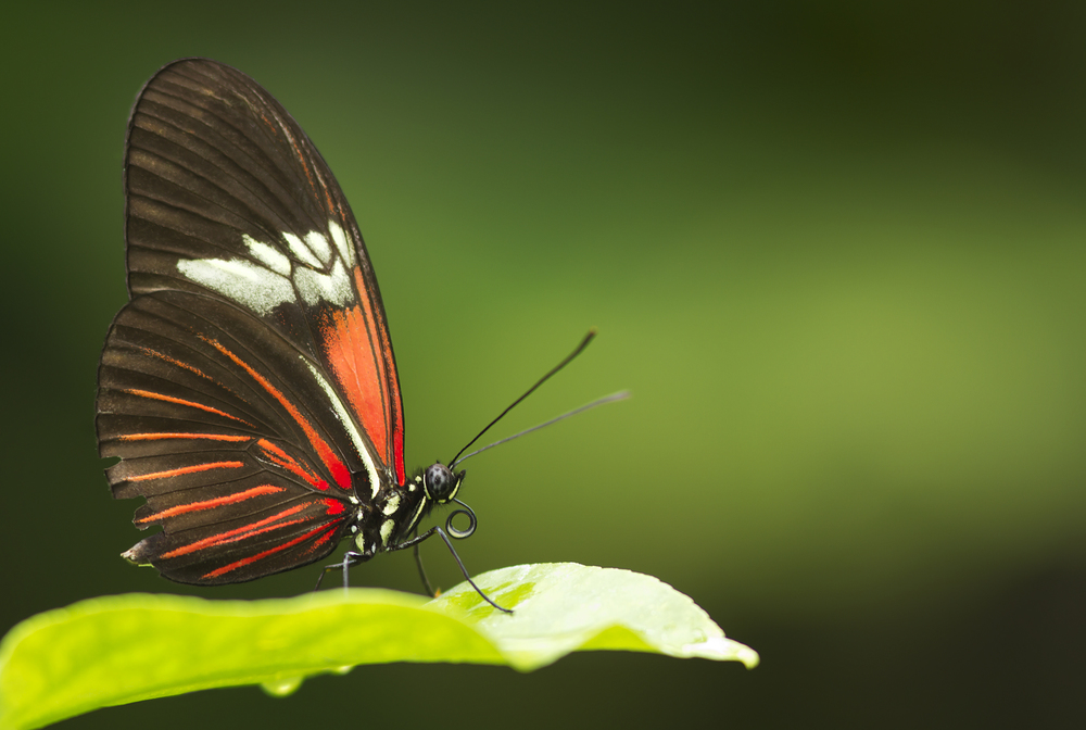 Butterfly pose Read about The Heliconius butterfly (Heliconius chanitonius) Comments