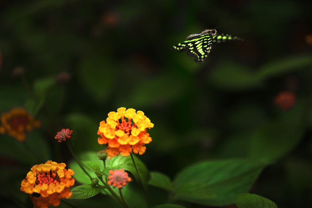 Green butterfly passing by Read about The tailed jay Comments